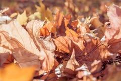 Le foglie di acero trasparenti asciutte sulla terra dopo la foglia cadono immagine stock
