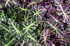 Le foglie di alocasia Fotografia Stock