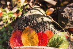 Le foglie di autunno colora l'autunno variopinto giallo verde rosso di vita Fotografia Stock