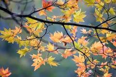 Le foglie di autunno con ardere colora il sole illuminato di withs Fotografia Stock Libera da Diritti