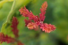 Le foglie di autunno della quercia rossa si chiudono su dopo pioggia Fotografia Stock Libera da Diritti