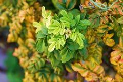 Le foglie di autunno di selvaggio sono aumentato Fotografia Stock