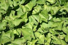Le foglie di Brunnera Fotografia Stock