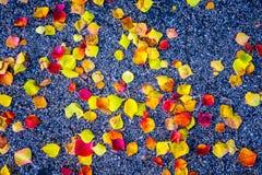 Le foglie di caduta cadono alla terra con asfalto di contrapposizione scuro Fotografia Stock