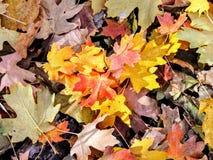 Le foglie di caduta della quercia e di Autumn Maple si chiudono su su Forest Floor su Rose Canyon Yellow Fork e sulla grande trac Immagini Stock