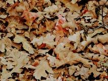 Le foglie di caduta della quercia e di Autumn Maple si chiudono su nella foresta su Rose Canyon Yellow Fork Trail in montagne di  Immagine Stock Libera da Diritti