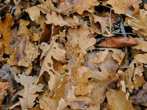 Le foglie di caduta della quercia e di Autumn Maple si chiudono su nella foresta su Rose Canyon Yellow Fork Trail in montagne di  Fotografia Stock