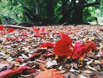 Le foglie di caduta di rosso Immagini Stock