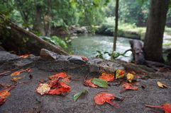 Le foglie di caduta di rosso Fotografia Stock