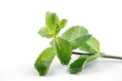 Le foglie di menta fresca sono enorme popolari per tè e succhi ed insalate freschi Fotografia Stock Libera da Diritti
