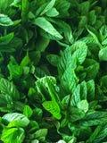 Le foglie di menta si chiudono sul colpo Fotografia Stock