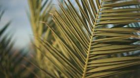 Le foglie di palma ondeggiano nel primo piano del vento Il tempo è ventoso video d archivio