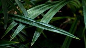 Le foglie di Pandan sono verde intenso Immagine Stock