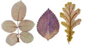 Le foglie di Rosa, la foglia del basilico e la quercia coprono di foglie Fotografie Stock