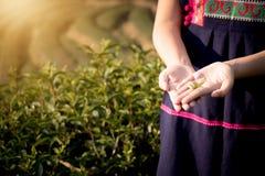 Le foglie di tè fresche in mani della collina di un agricoltore della tribù con tè sistemano Immagine Stock