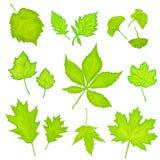 Le foglie di verde hanno isolato il fondo Immagini Stock Libere da Diritti