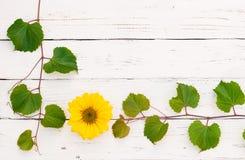 Le foglie di vite verdi con il fiore del girasole rasentano il fondo di legno bianco per l'assaggio di vino, la cantina, l'evento immagine stock libera da diritti