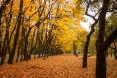 Le foglie dorate sul ramo, legno di autunno con il sole rays Fotografie Stock