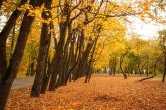 Le foglie dorate sul ramo, legno di autunno con il sole rays Immagine Stock