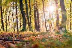 Le foglie dorate sul ramo, legno di autunno con il sole rays, bello paesaggio fotografia stock