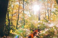 Le foglie dorate sul ramo, legno di autunno con il sole rays, bello paesaggio immagini stock