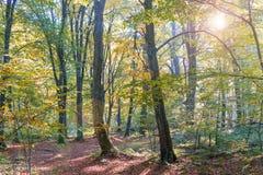 Le foglie dorate sul ramo, legno di autunno con il sole rays, bello paesaggio immagine stock