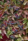 Le foglie e la frutta dell'uva selvaggia Immagini Stock