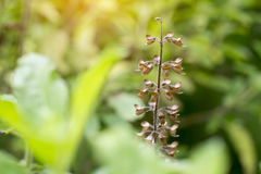 Le foglie ed i fiori di basilico hanno primo piano asciutto dei semi Fotografie Stock Libere da Diritti
