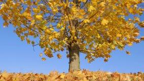 Le foglie gialle asciutte sull'albero di acero galleggiano in vento 4K archivi video