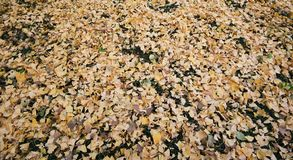 Le foglie gialle del ginkgo cadono sul pavimento dell'erba a Meiji Jingu Gaien Park, Tokyo - Giappone fotografia stock libera da diritti