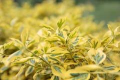 Le foglie gialle della betulla gialla nella lampadina Fotografie Stock Libere da Diritti