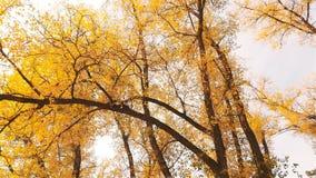 Le foglie gialle sono inondate dagli alberi Autunno dorato Bello paesaggio Movimento lento stock footage