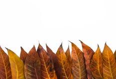 Le foglie hanno isolato il fondo Immagine Stock Libera da Diritti