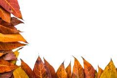Le foglie hanno isolato il fondo Fotografia Stock
