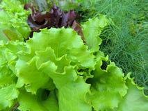 Le foglie, l'aneto ed il prezzemolo della lattuga a partire dall'estate fanno il giardinaggio Immagini Stock Libere da Diritti