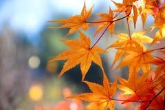 Le foglie luminose di rosso Fotografia Stock