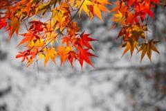 Le foglie luminose di rosso Immagini Stock Libere da Diritti