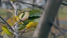 Le foglie ondeggiano lentamente in vento leggero sul ramo di albero nero lungo archivi video