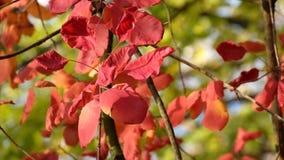 Le foglie rosse dell'albero di fumo hanno fluttuato nel vento, illuminato dai raggi del sole di autunno video d archivio