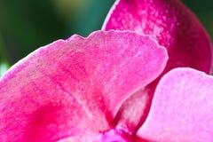 Le foglie rosse dell'orchidea sbocciano con fondo verde, macro foto Fotografia Stock