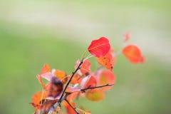 Le foglie rosse si chiudono su nel selvaggio Ramo delle foglie rosse dell'uva di autunno Fogliame di quinquefolia del Parthenocis fotografie stock