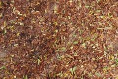 Le foglie secche del tamarindo cadono in terra Fotografia Stock