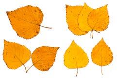 Le foglie secche della betulla Fotografie Stock Libere da Diritti