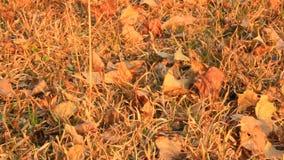 Le foglie si asciugano sulla terra stock footage