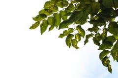 Le foglie sono asciutte e malate a causa di eccessivo calore fotografia stock libera da diritti