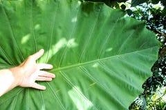 Le foglie sono sempreverdi Fotografie Stock