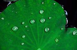 Le foglie tropicali del loto del primo piano con le gocce dell'acqua su sorgono Fotografia Stock