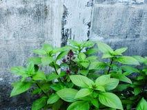 Le foglie verdi del basilico si chiudono sull'ingrediente aromatico in crudo culinario Immagini Stock