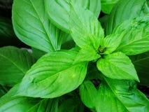Le foglie verdi del basilico si chiudono sull'ingrediente aromatico in crudo culinario Immagine Stock Libera da Diritti