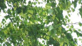 Le foglie verdi del fondo ed i rami della betulla ondeggiano nel vento stock footage